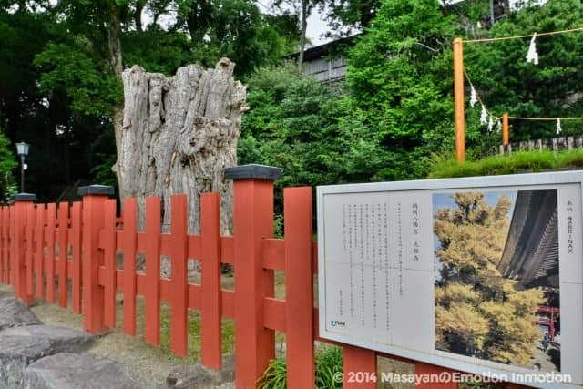 鶴岡八幡宮の大銀杏