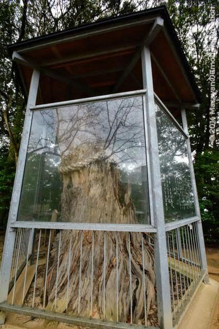 長浜神社・弓掛の松